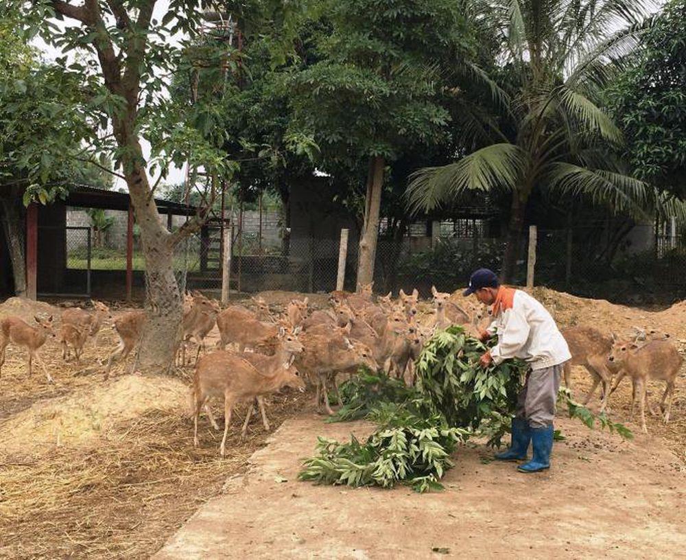 Nhung hươu Hương Sơn
