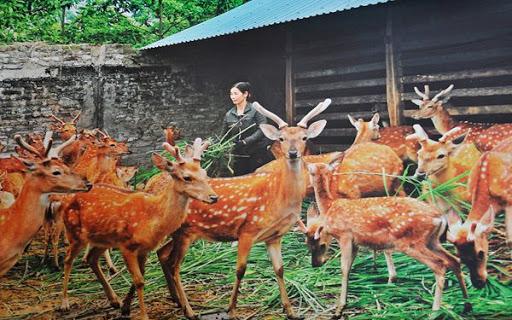 Nhung hươu Hương Sơn có gì đặc biệt?
