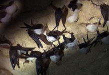 yến sào, yến sào là gì, bí mật chim yến, phân loại yến sào, công dụng yến sào